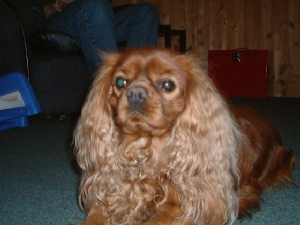 King Charles Spaniel - Hopwood Veterinary Centre