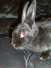 Rabbit - Hopwood Veterinary Centre